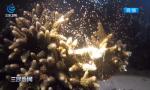 我在南海种珊瑚(三)——珊瑚产卵神奇景象