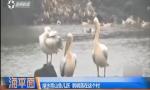 罕见鹈鹕现海南 村民护鸟轮流守护
