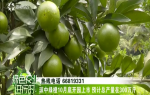 琼中绿橙10月底开园上市 预计总产量在300万斤