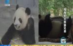 海南的大熊猫兄弟
