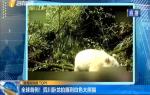 全球首例!四川卧龙拍摄到白色大熊猫
