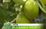 儋州:红心橙成熟逐渐上市 今年预计成熟三批次