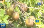 东方:海南山柚喜获丰收 托起村民致富梦