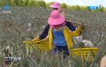 海南农垦集团43个项目复工 人员返岗复工率达95%