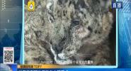世界首例野生雪豹白内障手术