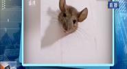 老鼠太胖被卡墻洞太久終斷氣