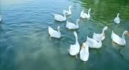 詩詞朗讀《鵝 鵝 鵝》