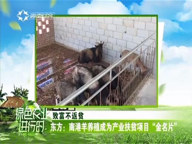 """东方:南港羊养殖成为产业扶贫项目""""金名片"""""""