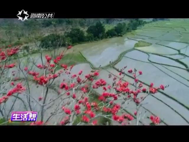木棉花开爱情来了 昌化江畔感受浪漫