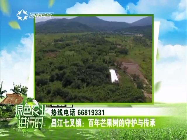 昌江七叉镇:百年芒果树的守护与传承