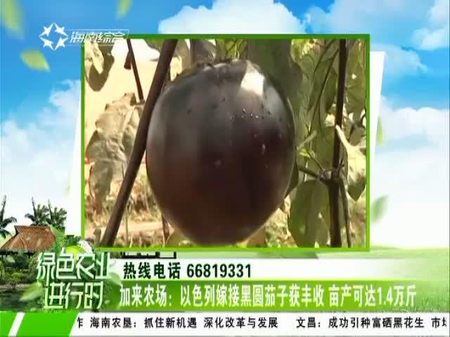 加来农场:以色列嫁接黑圆茄子获丰收 亩产可达1.4万斤