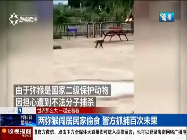 两弥猴闯居民家偷食 警方抓捕百次未果