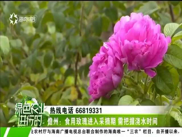 儋州:食用玫瑰进入采摘期 需把握浇水时间