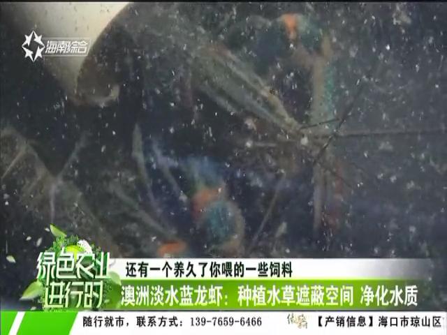 澳洲淡水蓝龙虾:种植水草遮蔽空间 净化水质