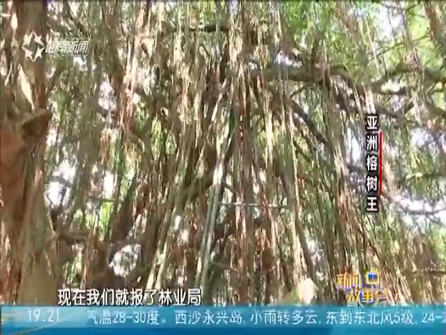 亚洲榕树王