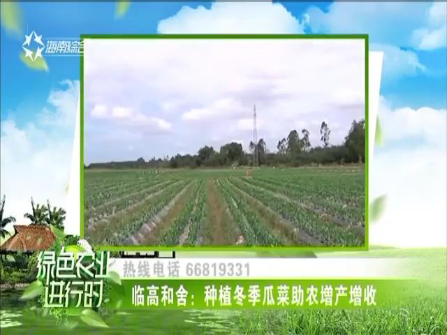 临高和舍:种植冬季瓜菜助农增产增收