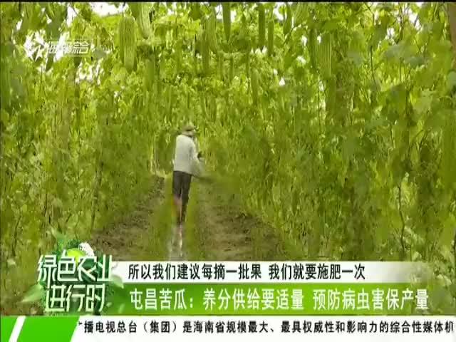 屯昌苦瓜:养分供给要适量 预防病虫害保产量