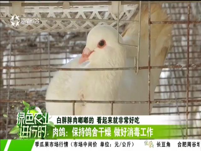 肉鸽:保持鸽舍干燥 做好消毒工作
