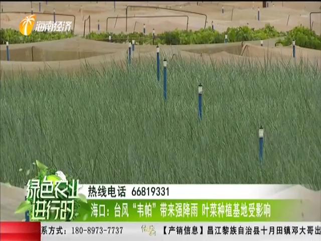 """海口:臺風""""韋帕""""帶來強降雨 葉菜種植基地受影響"""