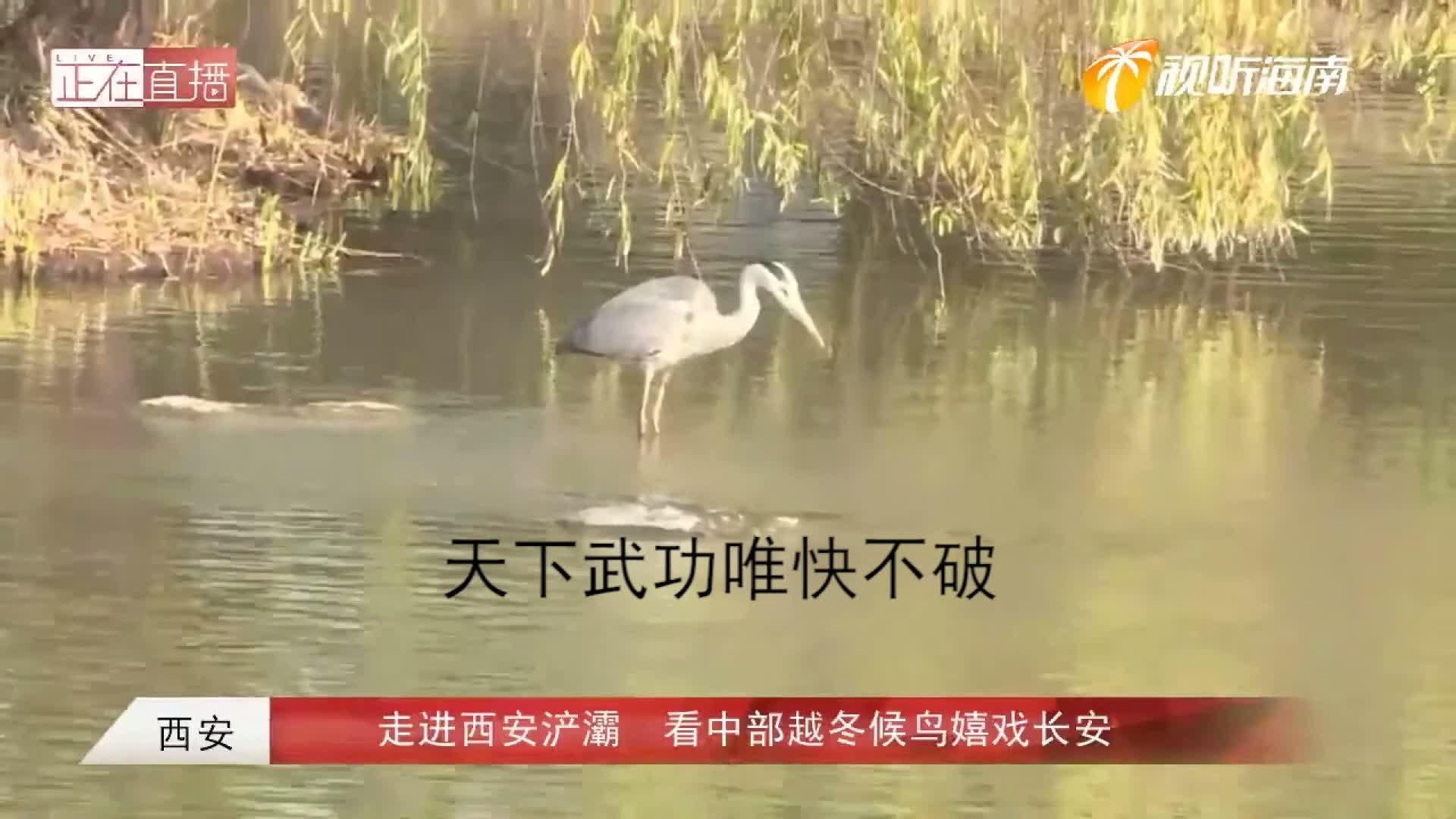东部候鸟迁徙之路:候鸟倒立吃食,唯快不破,这波操作稳了!