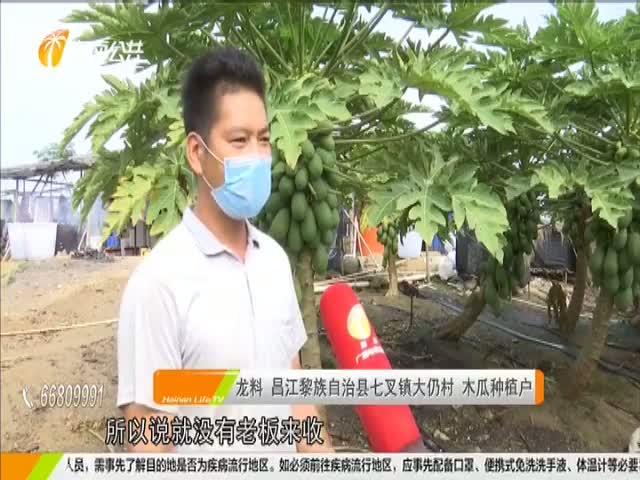 昌江:木瓜丰收遇销路难 驻村干部帮寻出路