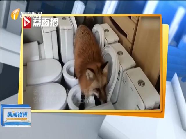 小狐貍闖進幼兒園被以為是標本 淡定吃起火腿腸