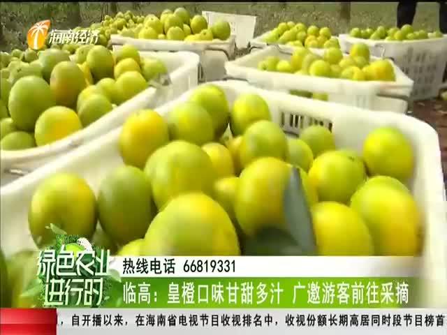 临高:皇橙口味甘甜多汁 广邀游客前往采摘