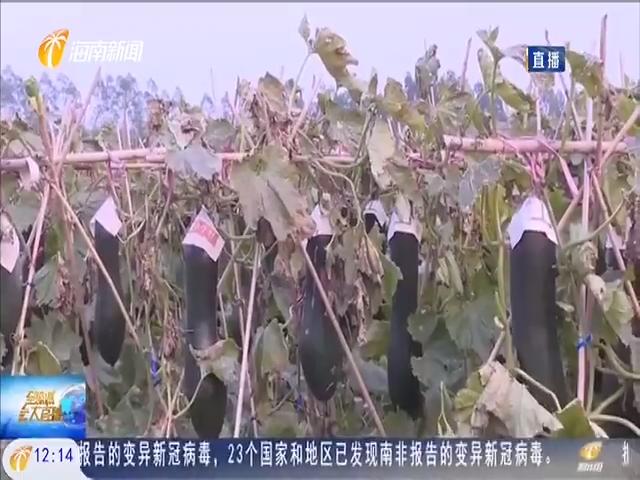 昌江:致富冬瓜喜丰收 农民增收笑开颜