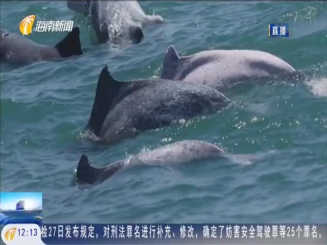 海南岛西南海域发现中华白海豚数量超两百头