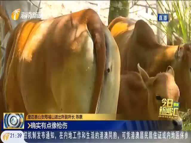 五头牛失而复得身上有枪伤?警方展开调查组织验伤