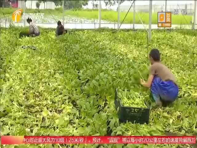 海口琼山区积极发展大棚蔬菜种植