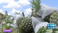 菠萝丰收无人问津 农户发愁众人帮忙