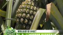 海口:急!三门坡菠萝等销售 绿农联络客商采购