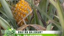 海口:菠萝口感好却难销售?