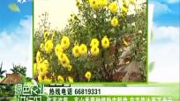 临高波莲:高山香菊种植助农脱贫 亩产值达两万余元
