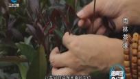 海南岛纪事 雨林茶缘