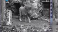 狮虎兽传奇