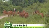 琼中:放养小黄牛品质好价值高 牛肉可卖60/斤