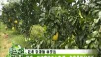 临高:三红蜜柚正上市 第一年产量约60万斤