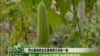 海口:引进丝瓜种植 价格销售稳定