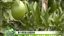 昌江:红心橙进入上糖化渣期 十月底即可上市