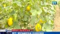 昌江:蜜瓜种植迎丰收 瓜农喜笑颜开