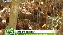 琼中:成立合作社饲养山鸡 贫困户每月600元补贴