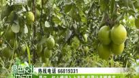 昌江:红心橙进入上市期 皮薄汁多糖度高