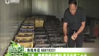 三亚:嫩姜种植行情好 每斤价格二十元