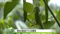 屯昌:辣椒进入零星采收期 收购价1元/斤