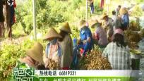东方:龙眼市场行情好 村民种植热情高