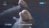 """上海:""""白鲸姐妹""""即将重返海洋 开启北极深海新生活"""