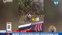 郵遞員上班途中偶遇大熊貓 雙目對視都有點懵