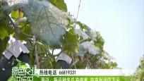 2019年度瓜果菜新品种展示现场观摩会在澄迈召开